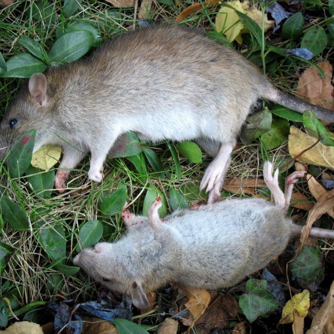 Waidmännisch erlegte Ratten (Foto: Ralph Stenzel)